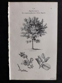 John Loudon 1838 Antique Botanical Tree Print. Conspicuous-Flowered or Yulan Magnolia
